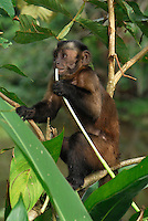 Tufted or Brown Capuchin (Cebus apella) eating, Pacaya-Samiria National Park, Peru