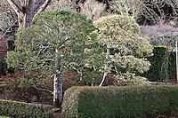 Pruned evergreen holly shrubs (Ilex aquifolium) behind low hedge in formal estate winter garden with deciduous trees