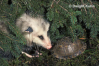 1R07-057z  Eastern Box Turtle - being watched by opossum - Terrapene carolina