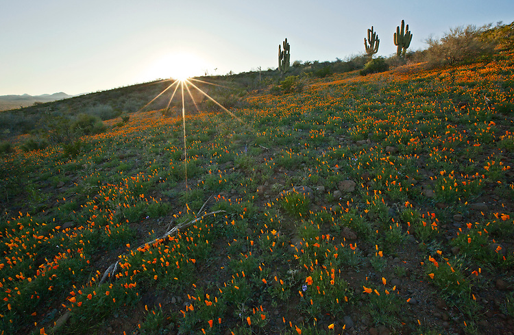 Mexican gold poppies (Eschscholzia californica) on top of Peridot Mesa on the San Carlos Indian Reservation, Arizona, USA