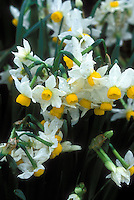 Narcissus tazetta susb. lacticolor aka canaliculatus species Daffodil (Division 8 Narcissus)