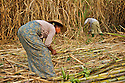 Fully grown sugarcane plantations are impenetrable and populated by snakes. In Burma live some of the most poisonus snakes.