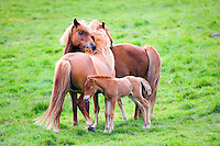 Two Icelandic horses and a foal