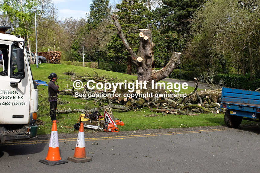Almost completely demolished - a once mighty tree, which had died, is reduced to a mere stump by a tree surgeon. The tree, in the grounds of Stranmillis College, Belfast, N Ireland, UK, ended up as wood chips. April, 2017, 201704113397<br />