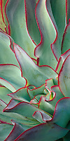Echeveria subrigida