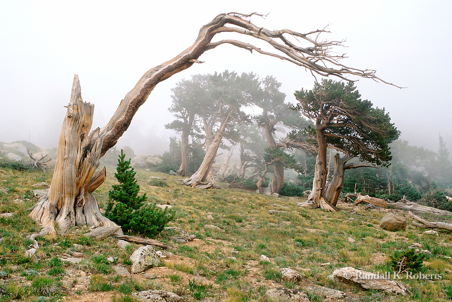 Twisted pines in fog, Mt. Goliath Natural Area, Mt. Evans Highway, Colorado