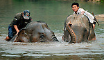 Asian elephants (elephas maximus)having their morning bath with their mahout at Pak Lai, Laos.