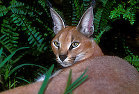 612754034 a captive wildlife rescue caracal felis caracal relaxes in its enclosure at a wildlife rescue facility - species is native to the vast grasslands of east africa