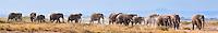 Large herd of elephants crossing marshland in the Amboseli National Park, Kenya, Africa (photo by Wildlife Photographer Matt Considine)