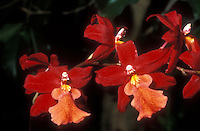 Orchids hybrid Burrageara Stefan Isler