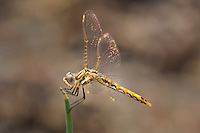 362800017 a wild immature male variegated meadowhawk sympetrum corruptum perches on a grass stem along warm springs road near bishop inyo county california united states