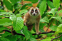 Sunda Slow Loris (Nycticebus coucang), Gunung Leuser National Park, Northern Sumatra, Indonesia