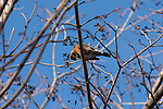 An American Robin sits on a tree branch looking down