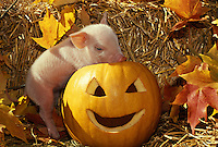 Commercial hybrid piglet explores carved pumpkin for Halloween