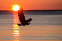 Bald Eagle flying at sunset in Alaska