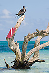 Long Caye, Glover's Reef Marine Reserve, Belize, Central America; a lone, female Magnificent Frigatebird (Fregata magnificens), sits on a dead tree branch with a red and white dive flag attached, on a sand bar off Long Caye , Copyright © Matthew Meier, matthewmeierphoto.com All Rights Reserved