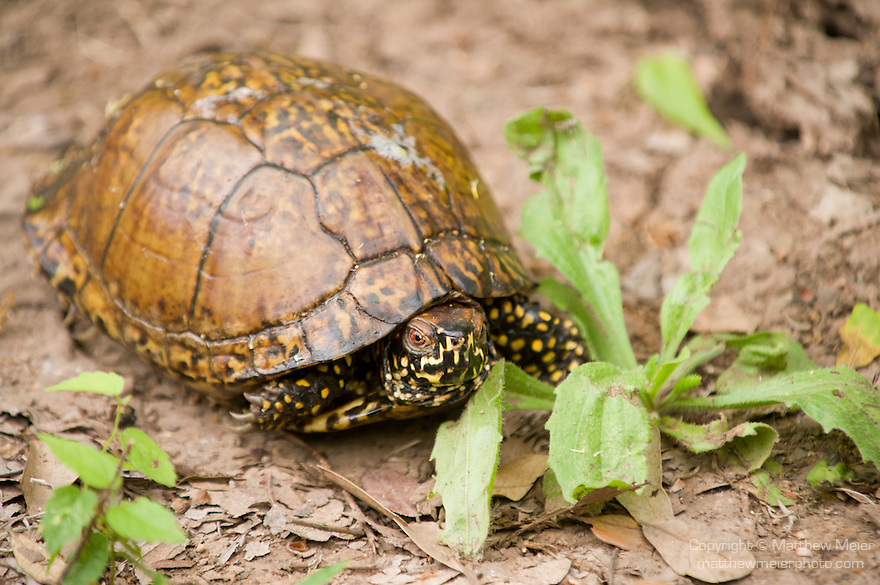 Columbia Ranch, Brazoria County, Damon, Texas; a Three-toed Box Turtle (Terrapene carolina) on a trail through the woods