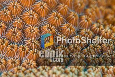 25 January 2016:  Coral Polyps have their tentacles retracted during the daytime as seen here on the reef at Captain Don's Habitat in Bonaire. Bonaire is known for its pioneering role in the preservation of the marine environment. A part of the Netherland Caribbean Islands, Bonaire is located off the coast of Venezuela and offers excellent scuba diving, snorkeling and windsurfing.  Mandatory Credit: Ed Wolfstein Photo *** RAW (NEF) Image File Available ***
