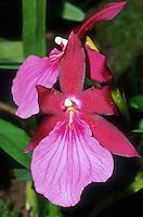 Miltonia spectabilis var. moreliana 'Linda Dayan' orchid species