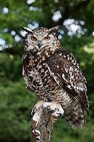 Cape Eagle Owl (Bubo capensis) adult perched