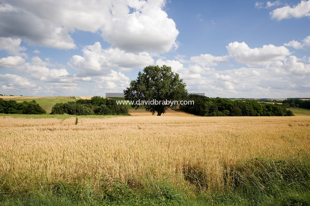 View of a field near Chenonceaux, France, 25 June 2008.