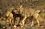 North America, Americas, USA, United States, Arizona. Coyotes at the Arizona-Sonora Desert Museum.