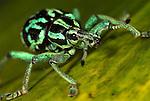 Weevil, Eupholus browni, Papua New Guinea, metallic green and black, captive.Papua New Guinea....