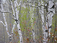 Birches in Late Spring Snowstorm, New Hampshire