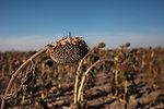 A field of sunflowers sits on Mitchell Baalman's 12,000-acre farm outside of Hoxie, Kan., on Thursday, Oct. 11, 2012. As historically dry conditions continue, farmers from South Dakota to the Texas panhandle rely on the Ogallala Aquifer, the largest underground aquifer in the United States, to irrigate crops. After decades of use, the falling water level ? accelerated by historic drought conditions over the last two years ? is putting pressure on farmers to ease usage or risk becoming the last generation to grow crops on the land. Farmers like Mitchell Baalman and Brett Oelke (both not pictured), are part of a farming community in in Sheridan County, Kansas, an agricultural hub in western Kansas, who have agreed to cut back on water use for crop irrigation so that their children and future generations can continue to farm and sustain themselves on the High Plains.