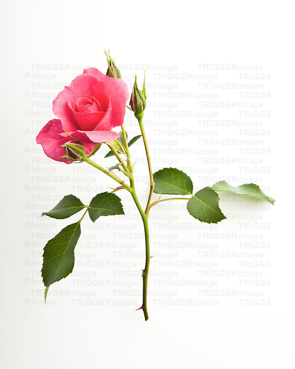 Single rose flower on white background