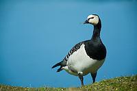 20.04.2009<br /> Barnacle Goose (Branta leucopsis) Ap&aacute;cal&uacute;d<br /> Nabu center Katinger Watt<br /> Eiderstedt, Germany