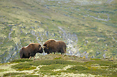Musk Ox fighting bulls (Ovibos moschatus), Dovrefjell National Park, Norway