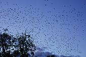 Rooks (Corvus frugilegus) in flight coming into roost over Hampden Park, Eastbourne, East Sussex, UK