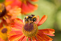 Bumble bee gathering nectar from Echinacea Tiki Torch flower in herbaceous border of country garden, UK