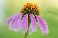 This purple coneflower, one of Texas' most beautiful wildflowers, blooms each spring and summer. This image was taken with a macro lens to show the fine details of this delicate creation.