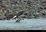 Bald Eagle catching Salmon, Squamish River, Brackendale Eagles Provincial Park, Vancouver, British Columbia