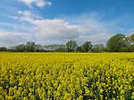 Field of Oil Seed Rape, Kent, UK