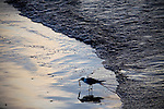 A seagull eats a shrimp at daybreak on June 24, 2010 where B.P. oil spill has reached land in Grand Isle, LA.