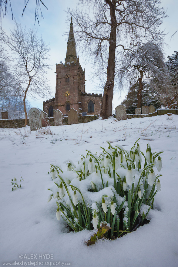 Clump of Snowdrops {Galanthus nivalis} flowering in front of Bonsall village church after a snowfall.  Peak District National Park, Derbyshire. February.