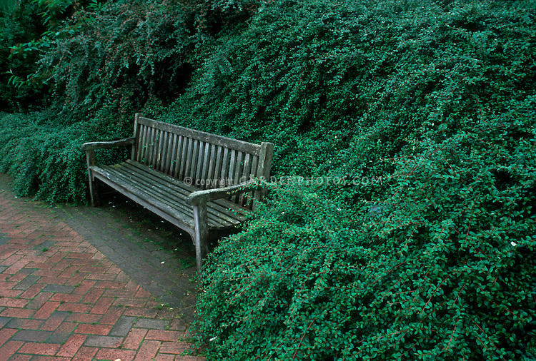 Wooden garden bench against hill of Cotoneaster shrubs 9660F