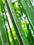 Bamboo forest closeup of stems at Arashiyama bamboo forest, Kyoto, Japan.