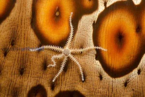 Brittle Star (Ophiothrix) on a Sea Cucumber (Bohadschia argus), Yap, Micronesia.