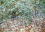 Reminiscent of pointillism, newly fallen snow breaks up the color of fall leaves.