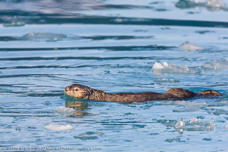 Sea otters swim in Barry Arm, Prince William Sound, southcentral, Alaska.
