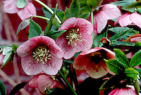 Hellebore x hybridus single pink with spots