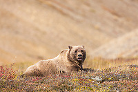 Grizzly bear sow rests on the autumn tundra in Highway pass, Denali National Park.