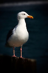 On the pier, Seal Beach seagull.