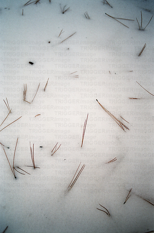 Snow with fallen pine needles