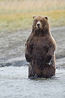 Alaskan brown bear standing in stream in Lake Clark National Park