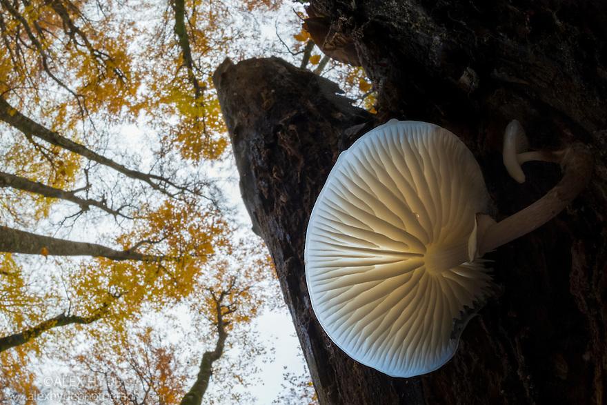 Porcelain fungus {Oudemansiella mucida} growing on a dead Beech tree {Fagus sylvatica}. Plitvice Lakes National Park, Croatia. November.